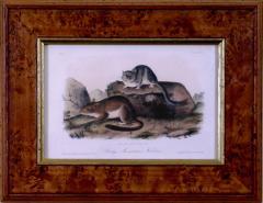 John James Audubon John James Audubon Rocky Mountain Neotoma Pack Rat 1854 - 1556430