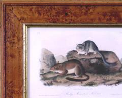 John James Audubon John James Audubon Rocky Mountain Neotoma Pack Rat 1854 - 1556438