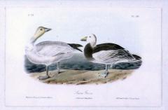 John James Audubon John James Audubon Snow Goose 1856 - 1554058