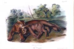 John James Audubon John James Audubon The Cougars 1839 - 1555375