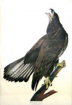 John James Audubon John James Audubon White Headed Eagle Young Bald Eagle 1971 73 - 1555308