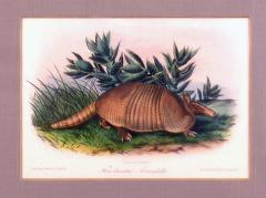 John James Audubon Plate CXLVI Nine Banded Armadillo - 1527724