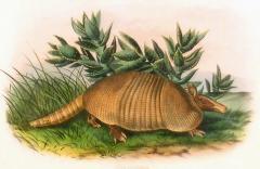 John James Audubon Plate CXLVI Nine Banded Armadillo - 1527725