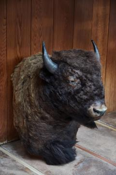 Large Taxidermy American Bison from Montana - 957942