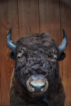 Large Taxidermy American Bison from Montana - 957943