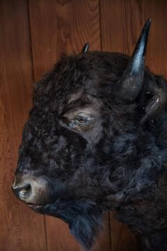 Large Taxidermy American Bison from Montana - 957944