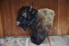 Large Taxidermy American Bison from Montana - 957945