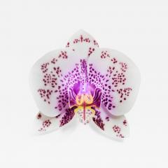 Laura Hart Orchis Exotica Phalaenopsis Appaloosa - 1411318