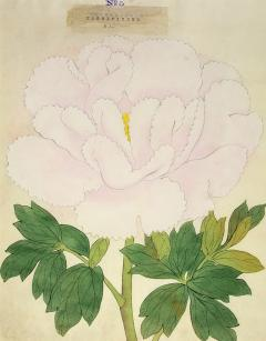Magnificent Japanese Peony - 2085963