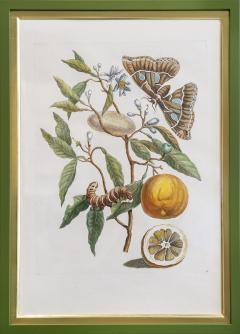 Maria Sibylla Merian MERIAN Maria Sibylla A Group of Six Flowers Insects and Fruits  - 2077350
