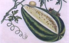 Maria Sibylla Merian Plate 15 Watermelon on the Vine with Arcahia Moth - 1577508