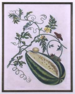 Maria Sibylla Merian Plate 15 Watermelon on the Vine with Arcahia Moth - 1577510