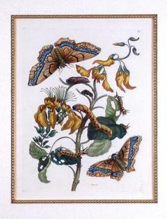 Maria Sibylla Merian Plate IX Palissade Butterfly  - 1577501