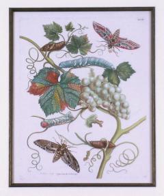 Maria Sibylla Merian White Grapes - 1577505