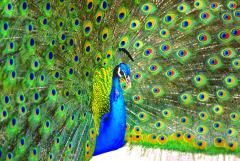 Mitchell Funk Peacock Displaying Blue and Green Plumage - 1733768