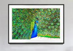 Mitchell Funk Peacock Displaying Blue and Green Plumage - 1733769