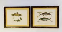 Pair of Framed Zoological Prints Fish of the Nile - 1956520