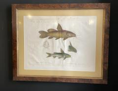 Pair of Framed Zoological Prints Fish of the Nile - 1956521