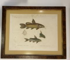 Pair of Framed Zoological Prints Fish of the Nile - 1956524