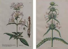 Pair of Hand Colored Botanical Engravings of Lilies - 1205364