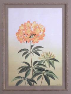 Paul Jones Rhododendron Aurigeranum 1976 - 1558991