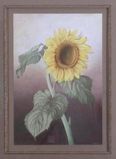 Paul Jones Sunflower Healianthus Annus 1976 - 1558931