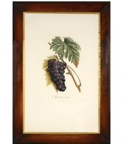 Pierre Antoine Poiteau Trait des arbres fruitiers A Set of Four Grapes  - 790623