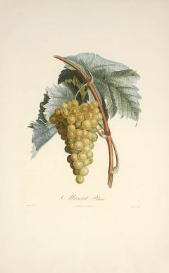 Pierre Antoine Poiteau Trait des arbres fruitiers A Set of Four Grapes  - 791166