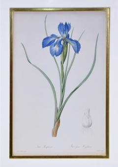 Pierre Joseph Redoute Redoute Set of Twelve Irises stipple engraved and finished by hands - 1067278