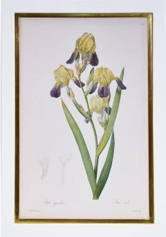 Pierre Joseph Redoute Redoute Set of Twelve Irises stipple engraved and finished by hands - 1067279