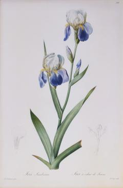 Pierre Joseph Redoute Redoute Set of Twelve Irises stipple engraved and finished by hands - 1067403