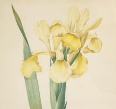 Pierre Joseph Redoute Set of Four Botanical Prints by Pierre Joseph Redoute - 1945329