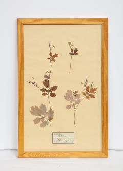 Pressed Botanicals Specimens - 1023211