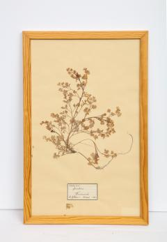 Pressed Botanicals Specimens - 1023213
