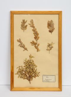 Pressed Botanicals Specimens - 1023214