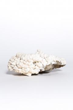 Rare great white coral - 2111716