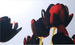 Renato Freitas Renato Freitas Black Tulips Original Photography - 348453