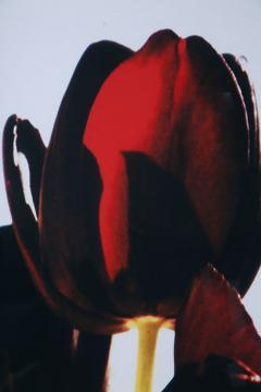 Renato Freitas Renato Freitas Black Tulips Original Photography - 348457