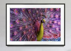 Robert Funk Peacock displaying in Magenta and Yellow - 2132573
