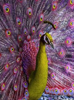 Robert Funk Peacock displaying in Magenta and Yellow - 2132574