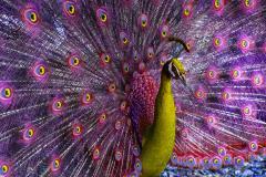Robert Funk Peacock displaying in Magenta and Yellow - 2132580