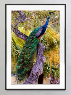 Robert Funk Peacock in Tree with Iridescent Blue and Green Plumage - 2132598