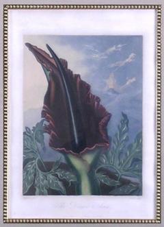 Robert John Thornton Dr Robert John Thornton Dragon Arum 1812 - 1548233