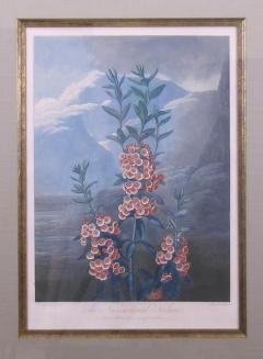 Robert John Thornton Dr Robert John Thornton The Narrow Leaved Kalmia Mountain Laurel 1798 1810 - 1548226