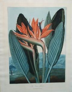 Robert John Thornton Dr Robert John Thornton The Queen Flower Bird of Paradise 1800 - 1548222