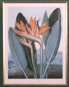 Robert John Thornton Dr Robert John Thornton The Queen Flower Bird of Paradise 1800 - 1548224