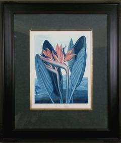 Robert John Thornton Dr Robert John Thornton The Queen Flower Bird of Paradise 1800 - 1555193