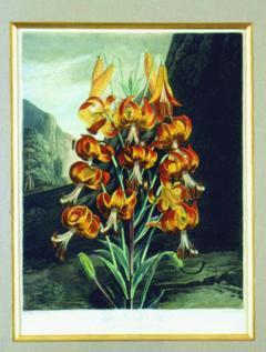 Robert John Thornton Dr Robert John Thornton The Superb Lily 1799 - 1548220