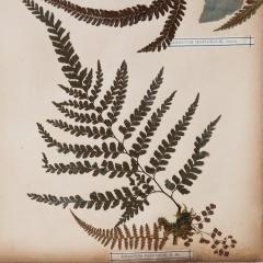 SET OF TWELVE FRAMED 19TH CENTURY PRESSED FERNS - 1272585