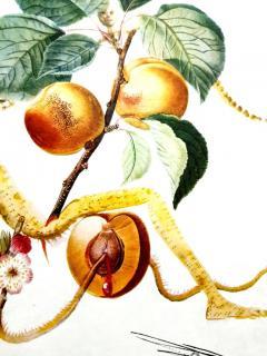 Salvador Dal Salvador Dali Apricot Original Hand Signed Lithograph - 1049279